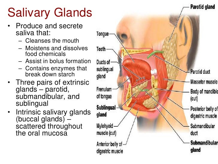 Histology Of The Oral Cavity