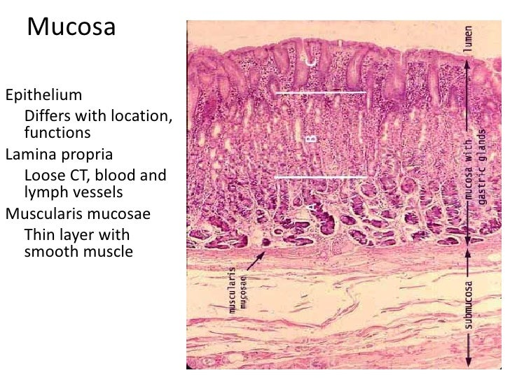 C:Documents And SettingsUserDesktopStomach Histology