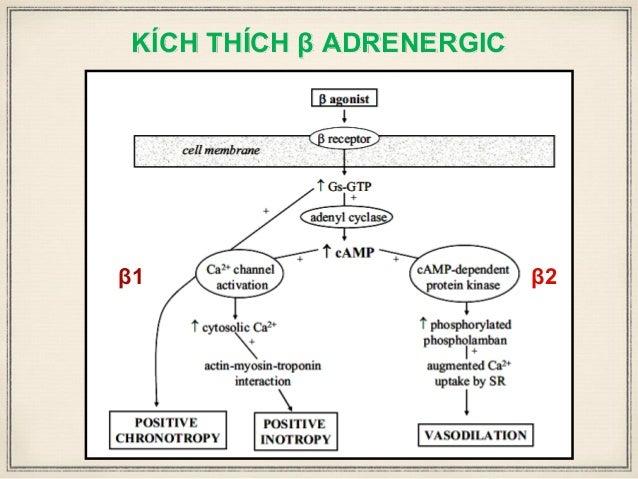 KÍCH THÍCH β ADRENERGIC β1 β2