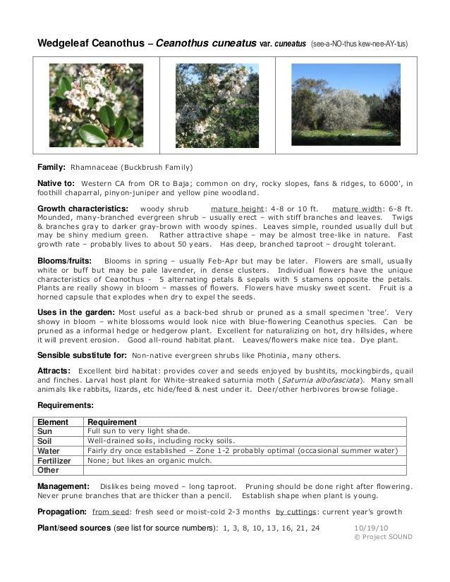 Wedgeleaf Ceanothus – Ceanothus cuneatus var. cuneatus  (see-a-NO-thus kew-nee-AY-tus)  Family: Rhamnaceae (Buckbrush Fami...