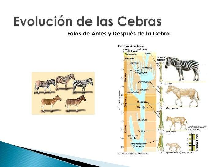 evolucion de las cebras
