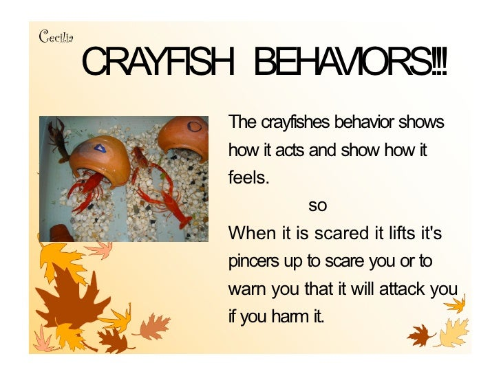 Cecilia           CRAYFISH BEHAVIORS!!!                   The crayfishes behavior shows                   how it acts and ...
