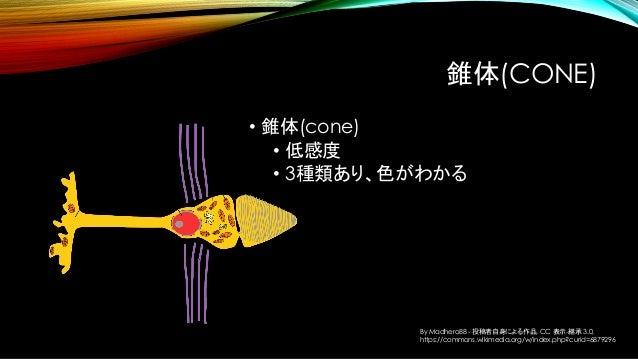 錐体(CONE) • 錐体(cone) • 低感度 • 3種類あり、色がわかる By Madhero88 - 投稿者自身による作品, CC 表示-継承 3.0, https://commons.wikimedia.org/w/index.php...