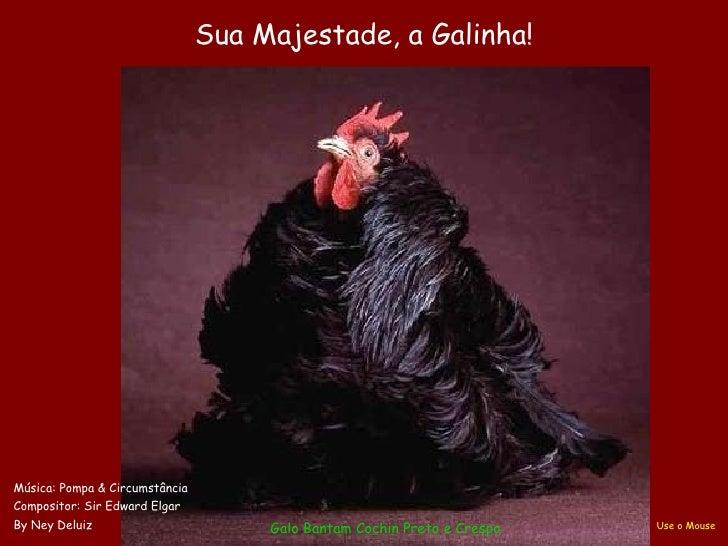 Galo Bantam  Cochin  Preto e Crespo Sua Majestade, a Galinha! Música: Pompa & Circumstância Compositor: Sir Edward Elgar B...