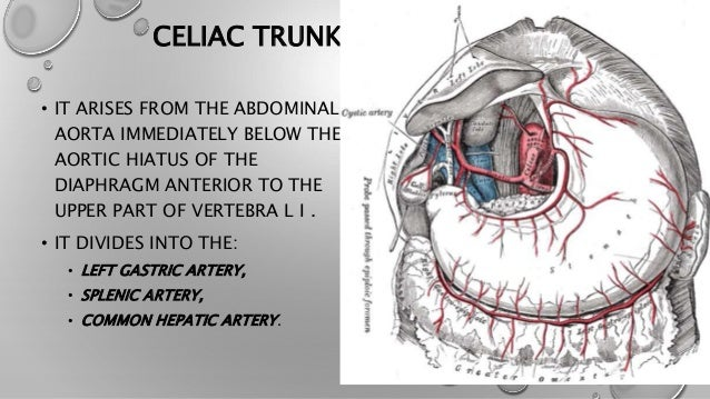 celiac trunk, Cephalic Vein