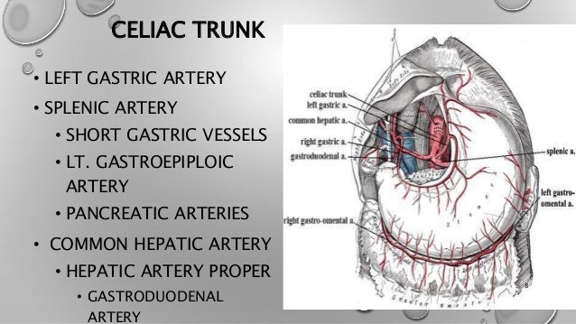 celiac trunk, Human Body