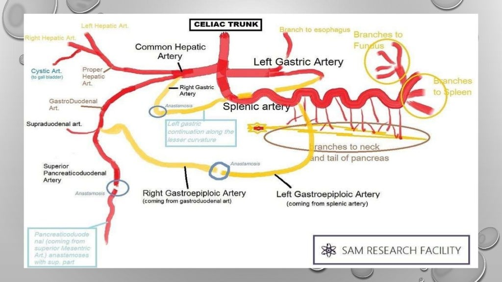 Diagram Of Celiac Artery Online Schematic Diagram