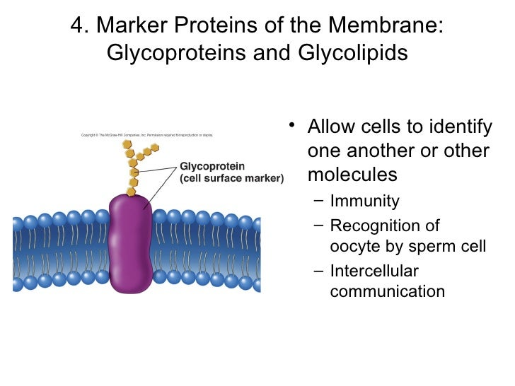 What is the role of glycoproteins and glycolipids?