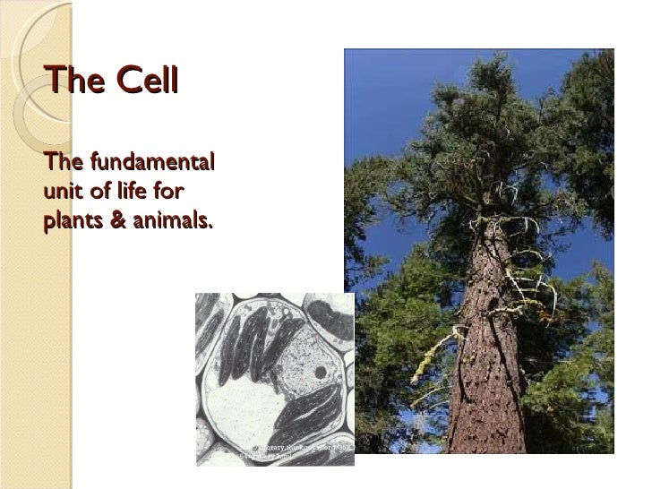 The Cell The fundamental unit of life for plants & animals. http://library.thinkquest.org/3564/gallery.html