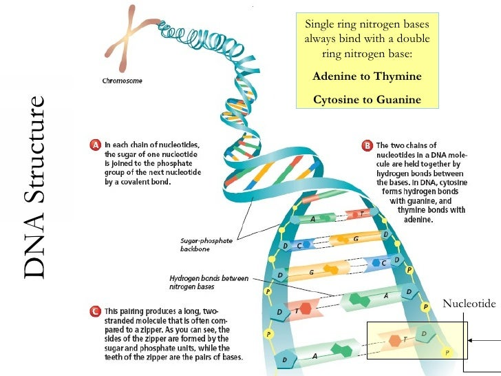 Protein Synthesis - PowerPoint PPT Presentation