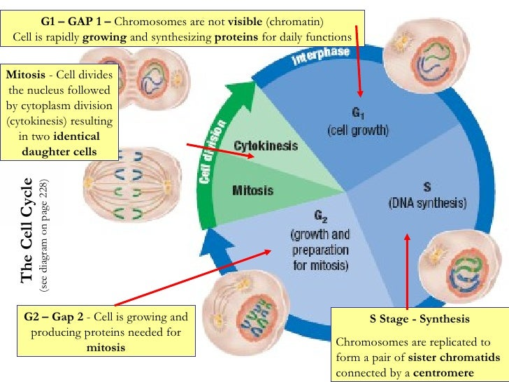 Cell Cycle, Dna, And Protein Synthesis Notes New