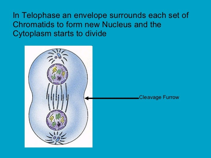 In Telophase an envelope surrounds each set of Chromatids to form new Nucleus and the Cytoplasm starts to divide  Cleavage...