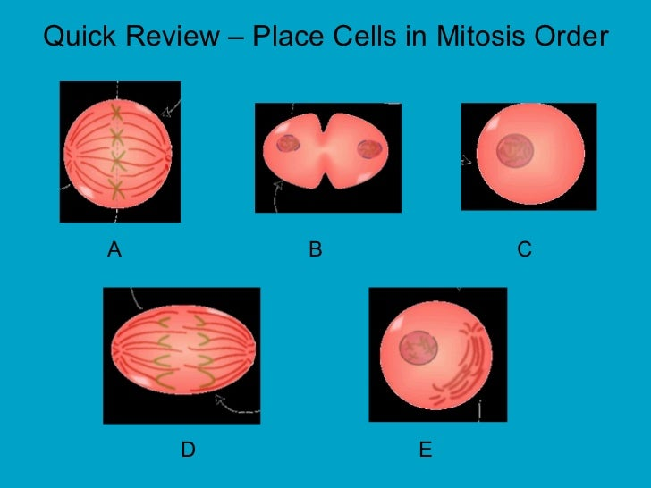 A  B  C D  E Quick Review – Place Cells in Mitosis Order