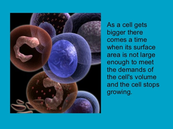 As a cell gets bigger there comes a time when its surface area is not large enough to meet the demands of the cell's volum...