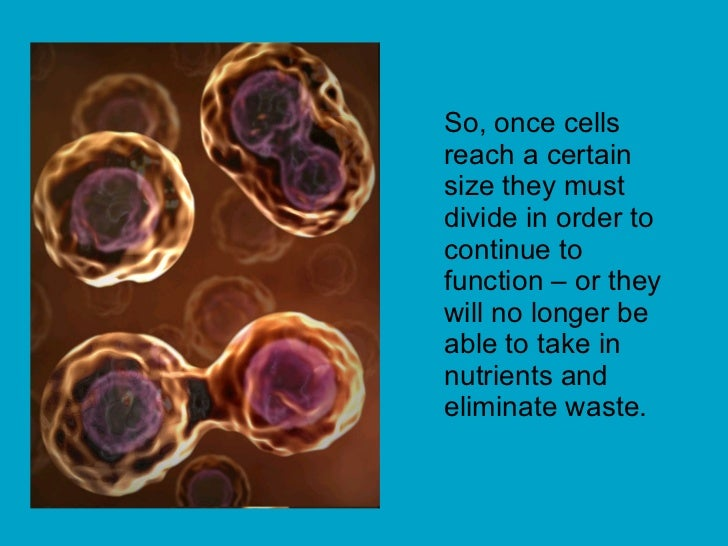 So, once cells reach a certain size they must divide in order to continue to function – or they will no longer be able to ...