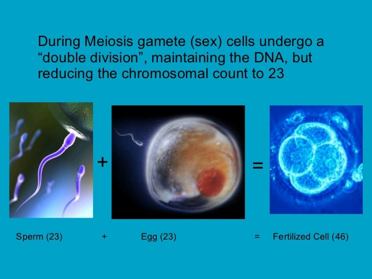 """During Meiosis gamete (sex) cells undergo a """"double division"""", maintaining the DNA, but reducing the chromosomal count to ..."""