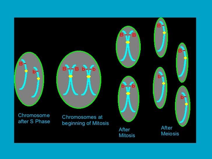 Chromosome after S Phase Chromosomes at beginning of Mitosis After Mitosis After Meiosis
