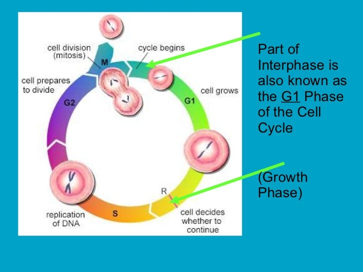 Cell division mitosis and meiosis preparation for division 7 ccuart Images