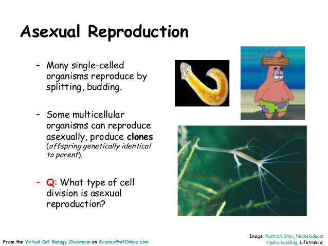What reproduces asexually through mitosis animation