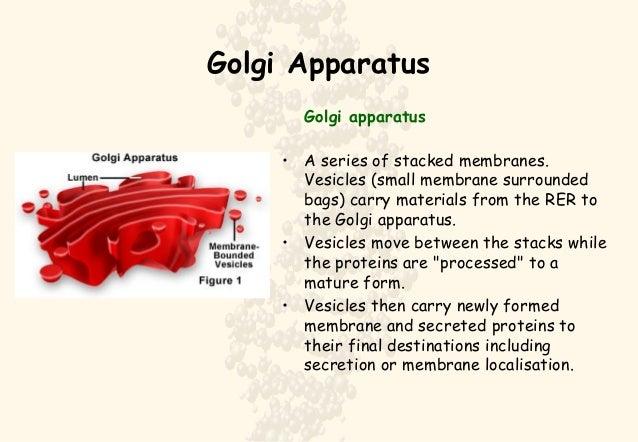 Golgi Apparatus Definition For Kid