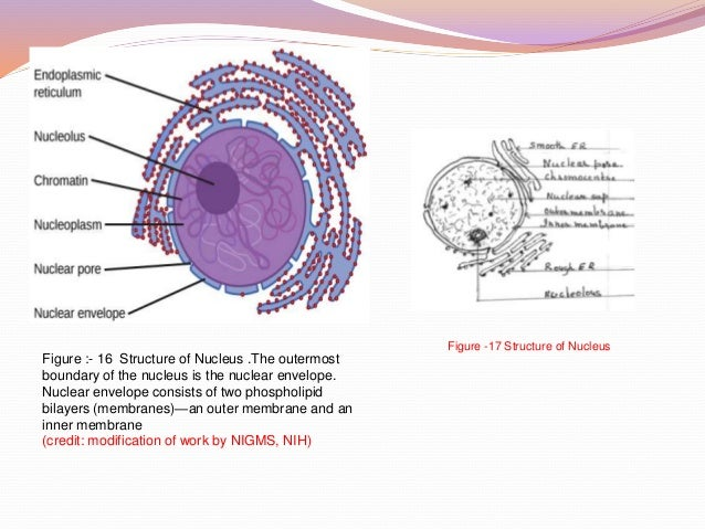 protoplasm outside nucleus of cell is the