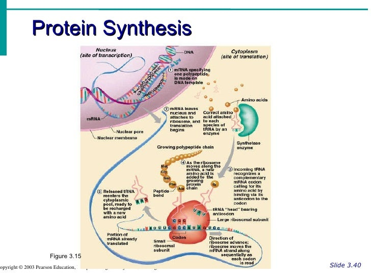 Pearson Protein Synthesis Diagram Circuit Connection Diagram