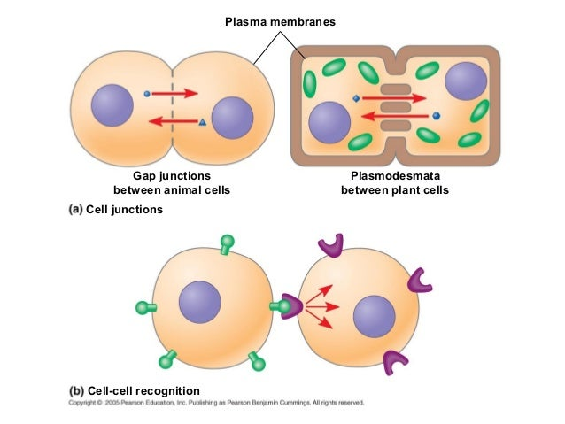 cell to cell communication By blocking the communication chemicals from reaching or effecting the  those  receptors will influence the cell to change in accordance to.