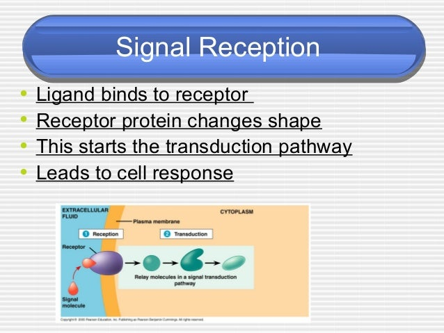 ap essay cell communication The new ap biology exam - a user's guide the 2013 ap biology exam  reflections ap biology review  036 - evolution of cell communication 037 -  cell.