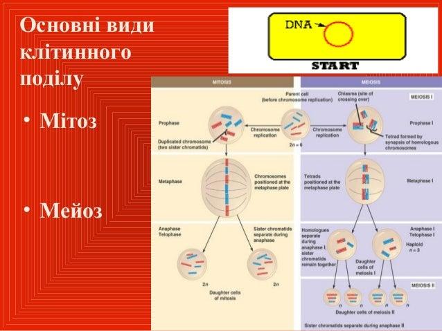 Клітинний цикл, апоптоз, аутофагія Slide 2
