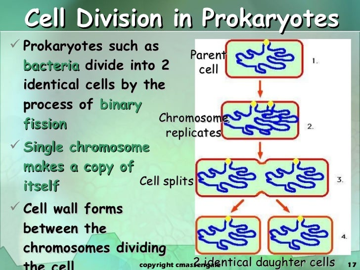 cell cycle and dividing cells number What is the cell cycle cells grow and divide as organisms grow and cells resulting from mitotic division have the same number of chromosomes as the original cell.