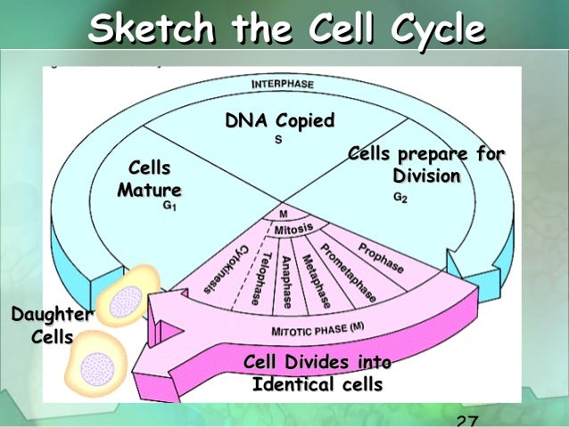 Cell cycle cell divisionm cell whats occurring 27 ccuart Gallery