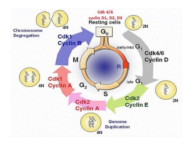 cell cycle and apoptosis Abstract the cell cycle and apoptosis are central gene‐regulated cellular pathways a number of diseases evolve due to deregulation of these pathways.