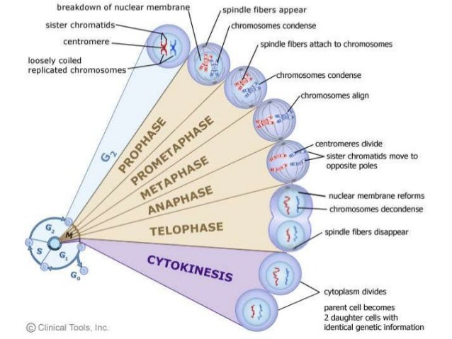cell cycle and apoptosis The cell cycle the cell cycle has two major phases: interphase, the phase between mitotic events, and the mitotic phase, where the mother cell divides into two genetically identical daughter cells.