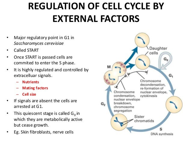 cell cycle regulation genetics Of mammals these characteristics of yeasts made them potent candidates for mutagenesis and genetic studies of the cell cycle regulation (hartwell et al.