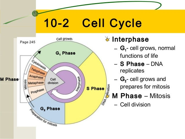10-2              Cell Cycle          Page 245                                Interphase                                  ...