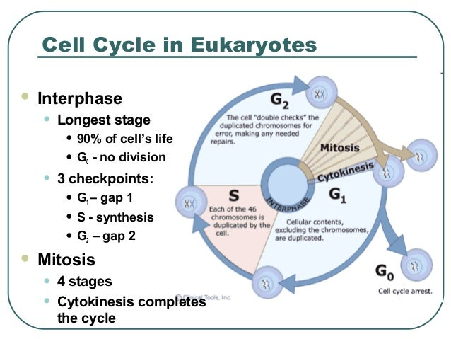 Free Worksheets cell growth and reproduction worksheet : The Cell Cycle
