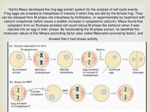 Cell cycle of Xenopus