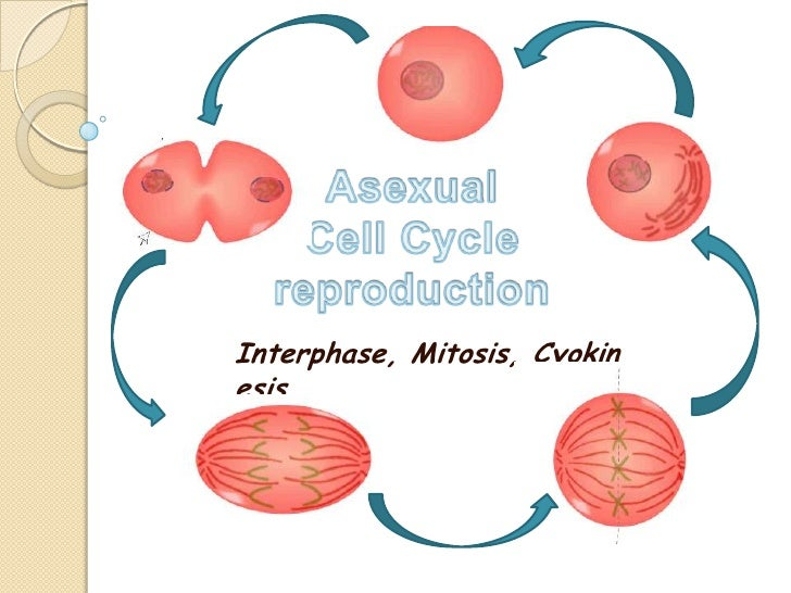 AsexualCell Cycle reproduction<br />Interphase, Mitosis, Cyokinesis<br />