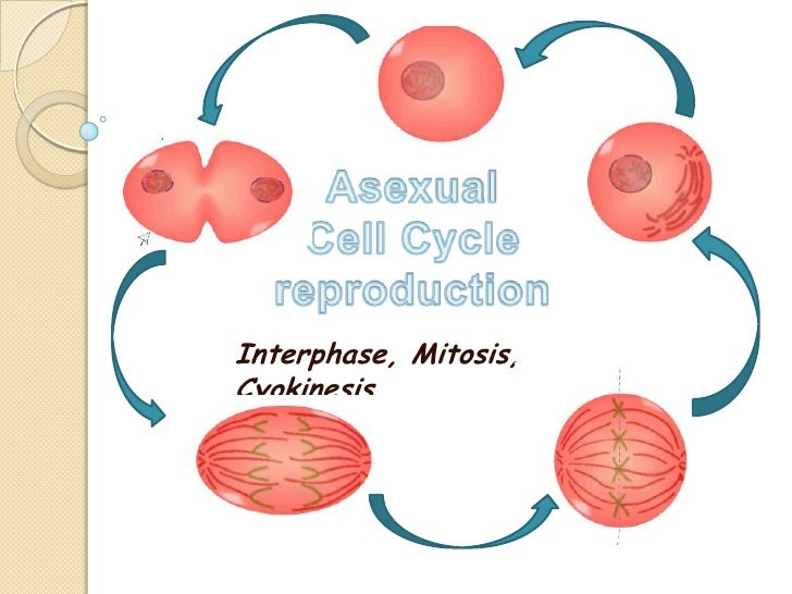 Asexual mitotic cell division