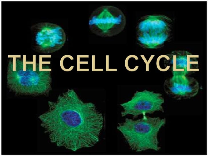 The Cell Cycle<br />