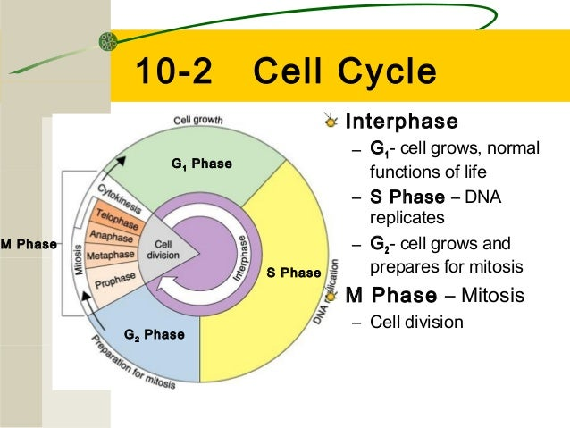 Cell Cycle Slides 2013 14 Lmk on Number Of Chromosomes Worksheet Answers