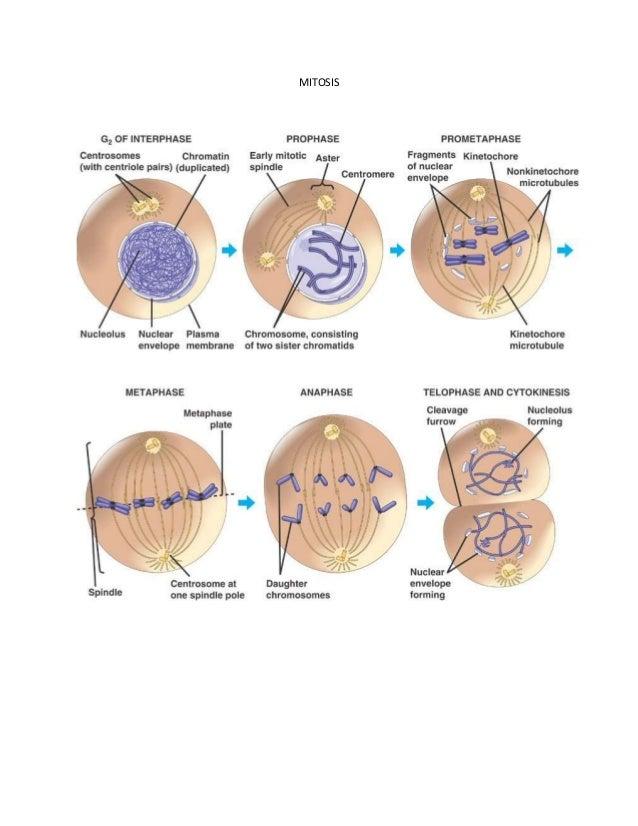 Mitosis & Meiosis Diagram