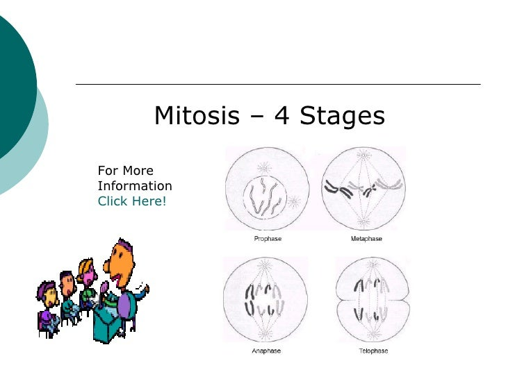 key mitosis stages and cell division Diagrams showing the stages of mitosis including diagrams of interphase, diagrams of  these help to describe the the process of cell division via mitosis.