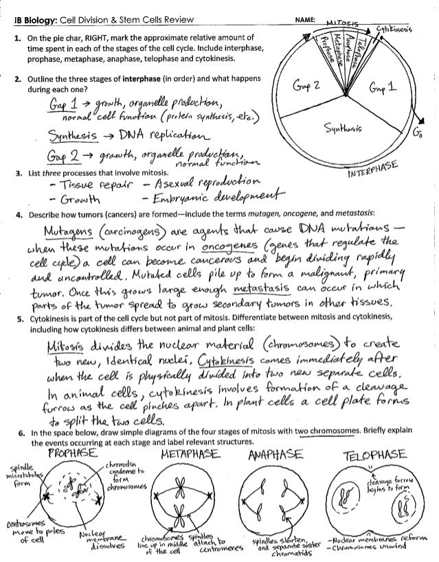 the cell cycle worksheet answers – streamclean.info