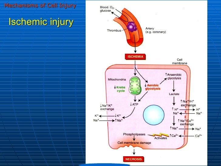 cell injury and cell death Chapter 1 cellular adaptations, cell injury, and cell death 5 if the limits of adaptive response to a stimulus are exceeded, or in certain instances when the cell is exposed to an injuri.