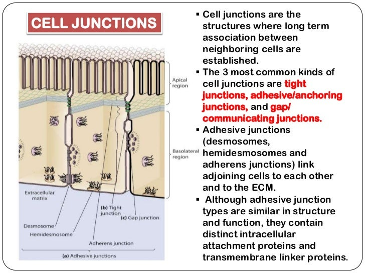 cell junctions notes