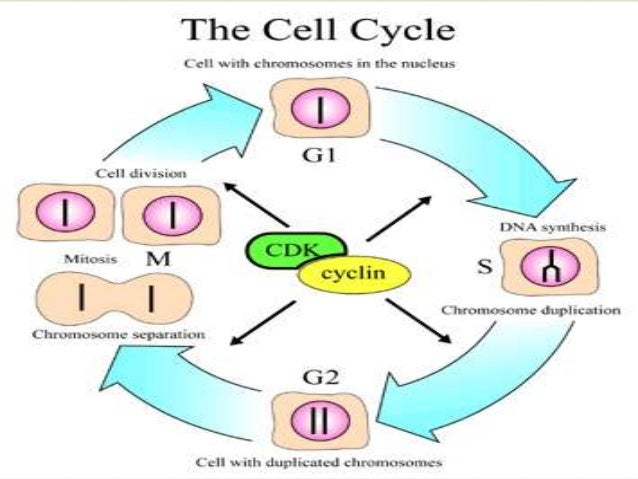 Cell junctions and cell division 25 mitosis the process of cell division ccuart Gallery