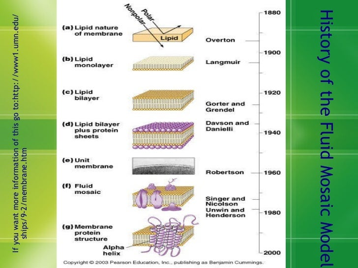 the history of the cell membrane Likely the first to study this phenomenon scientifically was one not normally associated with the biology of membranes he added a small amount of oil to the water in .