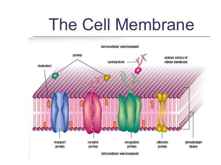 cell membrane structure and function pdf