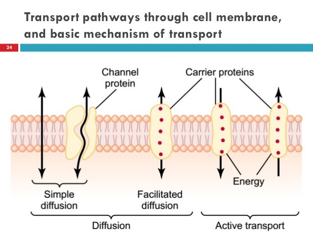 lab notebook cell transport mechanisms and permeability Lab diffusion, osmosis to move into and out of the cell active transport is the only mechanism that involves the use osmosis, and membrane transport.